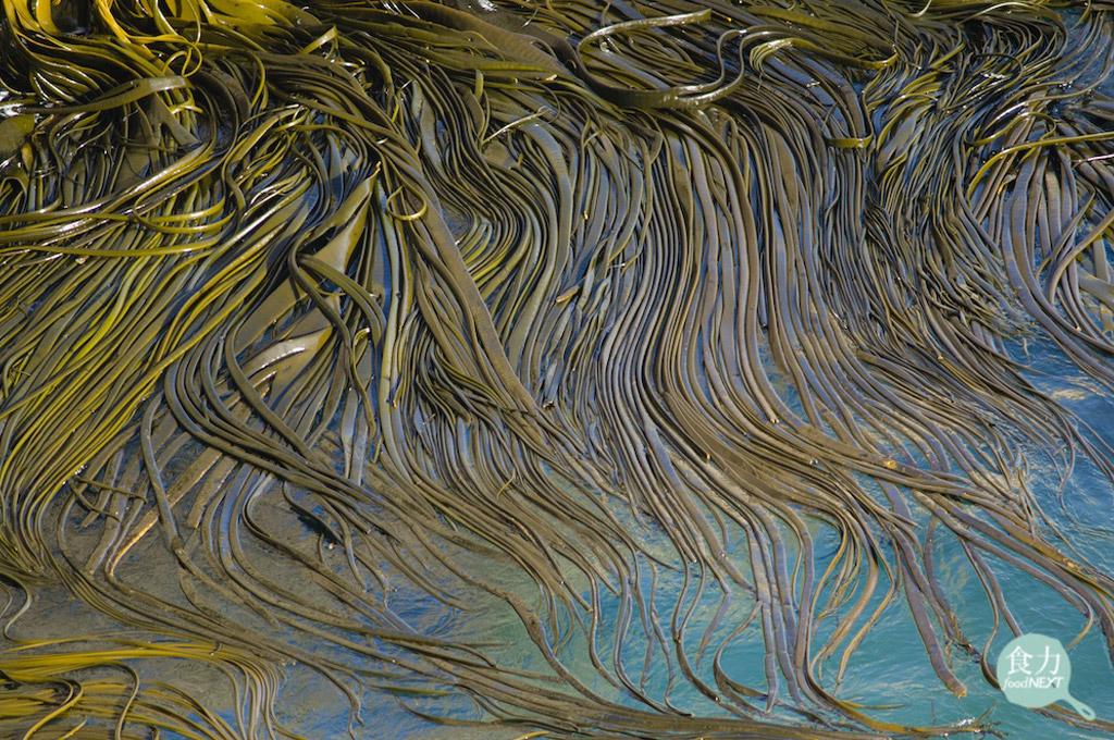 海茸原生在智利、與紐西蘭南部較寒冷的海域裡,由於其來源穩定,可望成為生醫界癌症治療,減緩白血球減少症副作用的新興來源。